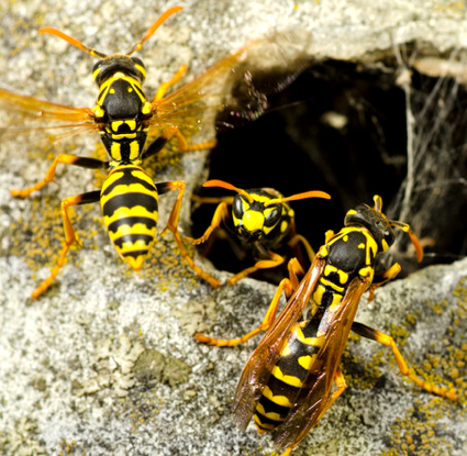 Sequim hornets